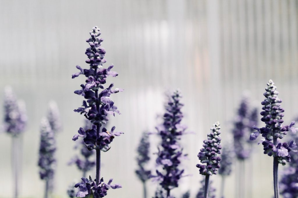 Lavender Essential Oil Uses | Essential Wellbeing | Doterra Essential Oils